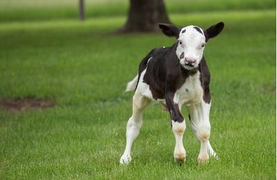 Les animaux modifiés par génie génétique font face à un processus de réglementation difficile*