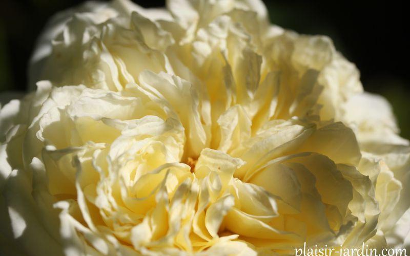 Le rosier Nelson Montfort