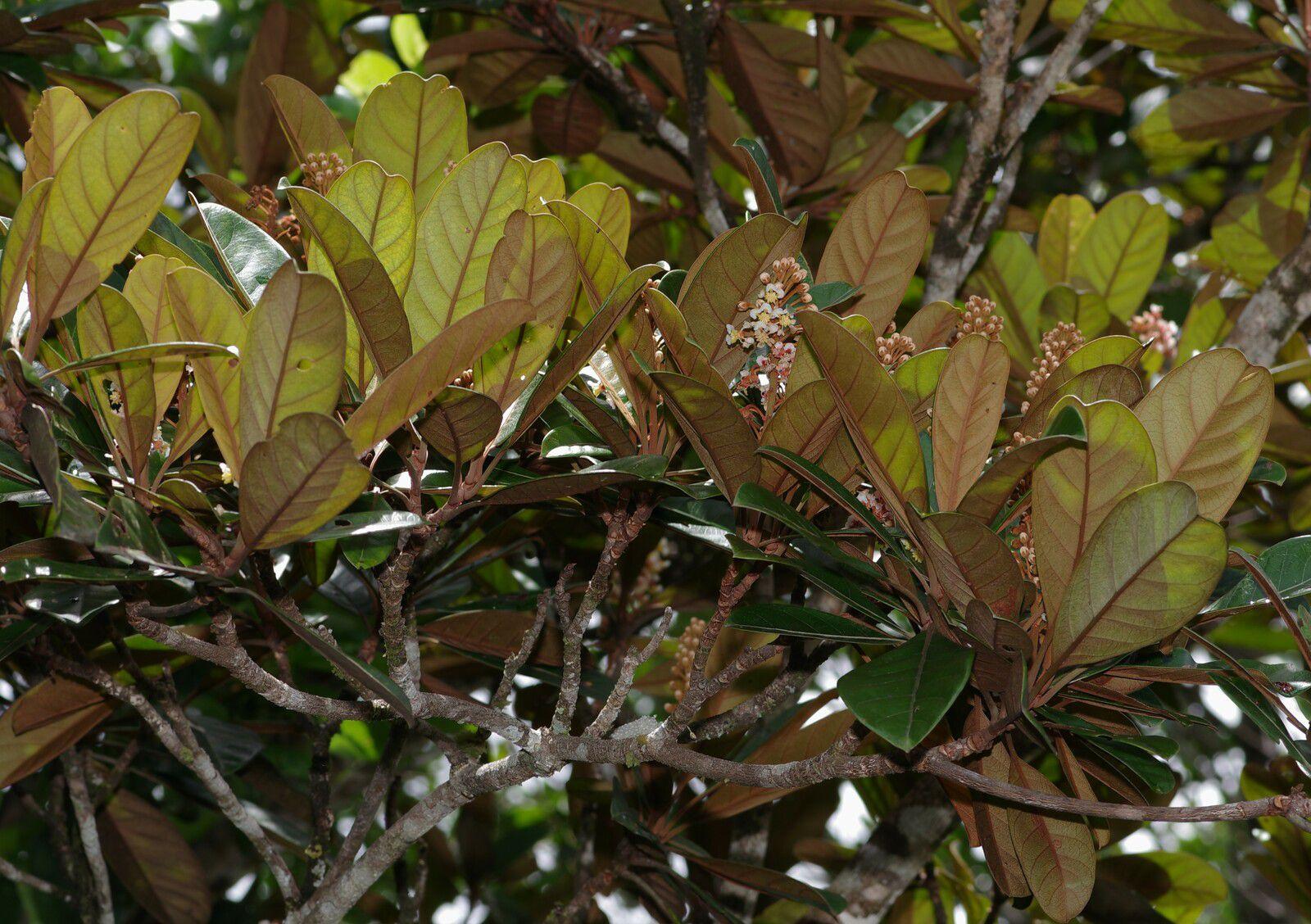 Byrsonima altissima