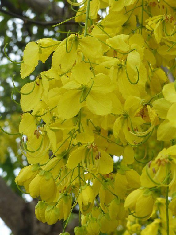 Ratchaphruek - La fleur nationale de Thaïlande