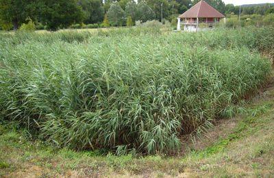 Phytoremédiation et Phytorestauration-dépollution par les plantes