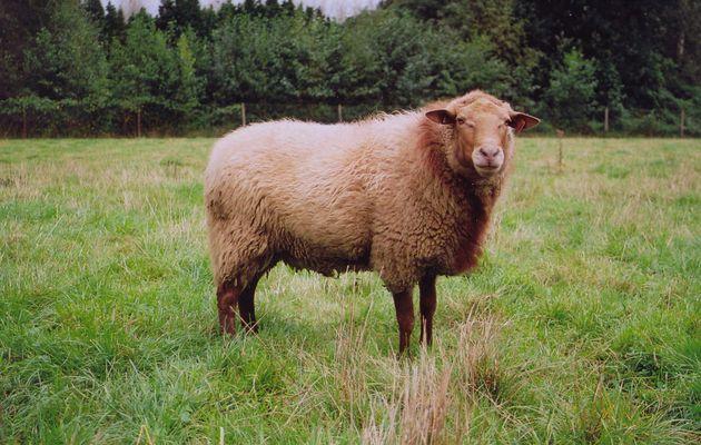 Le mouton roux ardennais