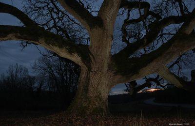 La puissance d'un chêne ....  ....