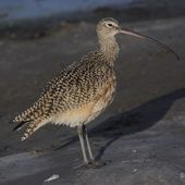 Courlis à long bec - Numenius americanus - Long-billed Curlew