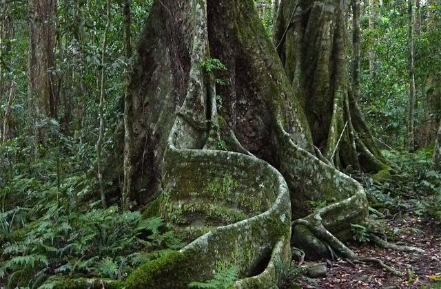 Queensland: forêt primaire et Gwondana