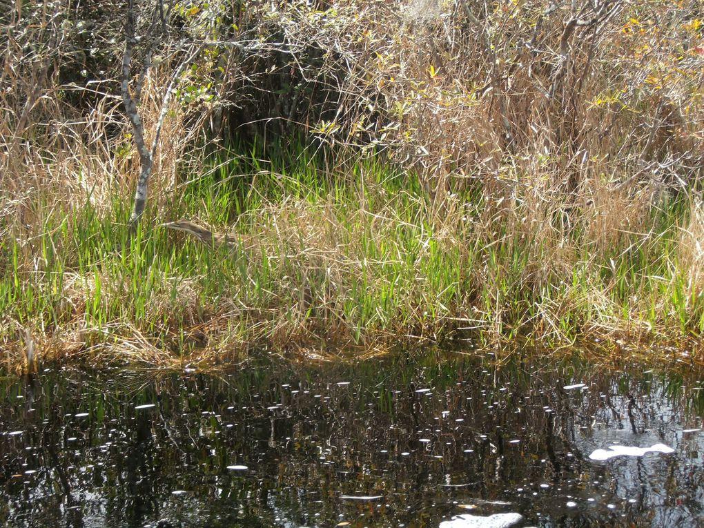 Tous les types d'oiseaux dont les plus grands (ibis, grues, cigognes, aigles, pélicans...) vivent dans le marais qui fournit le couvert...