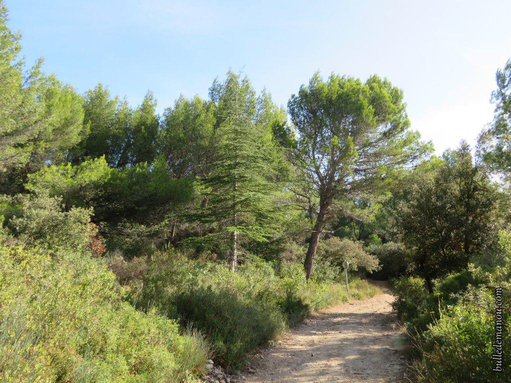 En bordure du chemin (pins et cèdres)