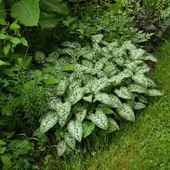 Créer ses propres variétés de pulmonaires - Au jardin des Quatre Moineaux