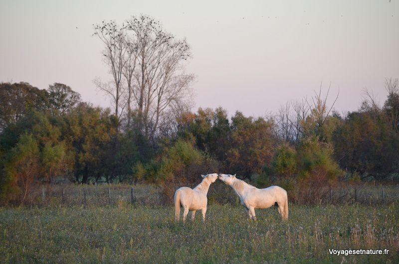 Le Camargue, race de petit cheval de selle rustique