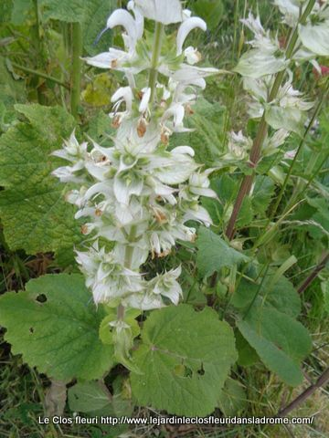 Salvia sclarea  L.   Lamiaceae  Toute-bonne
