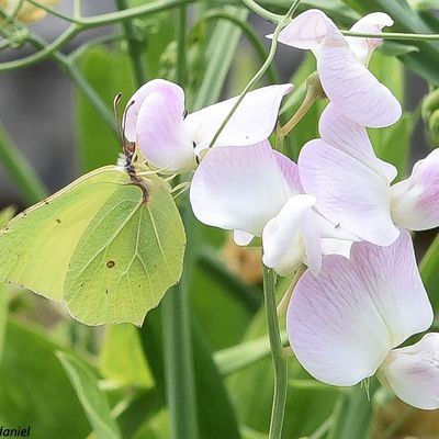 Papillon citron, une feuille volante?