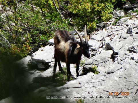 Plein de photos sur l'unique chamois qu'on a pu voir au loin sur les rochers .......
