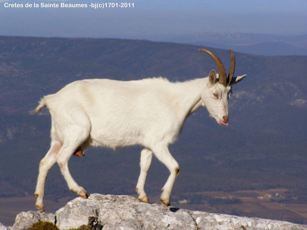 CRETES de la SAINTE BEAUME en Janvier et ses Chèvres . . .