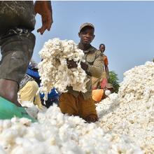 Le Nigeria commercialise le cotonnier Bt, son premier OGM
