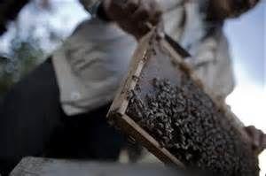 Les piqûres d'abeilles pour soulager les maux de Gaza...