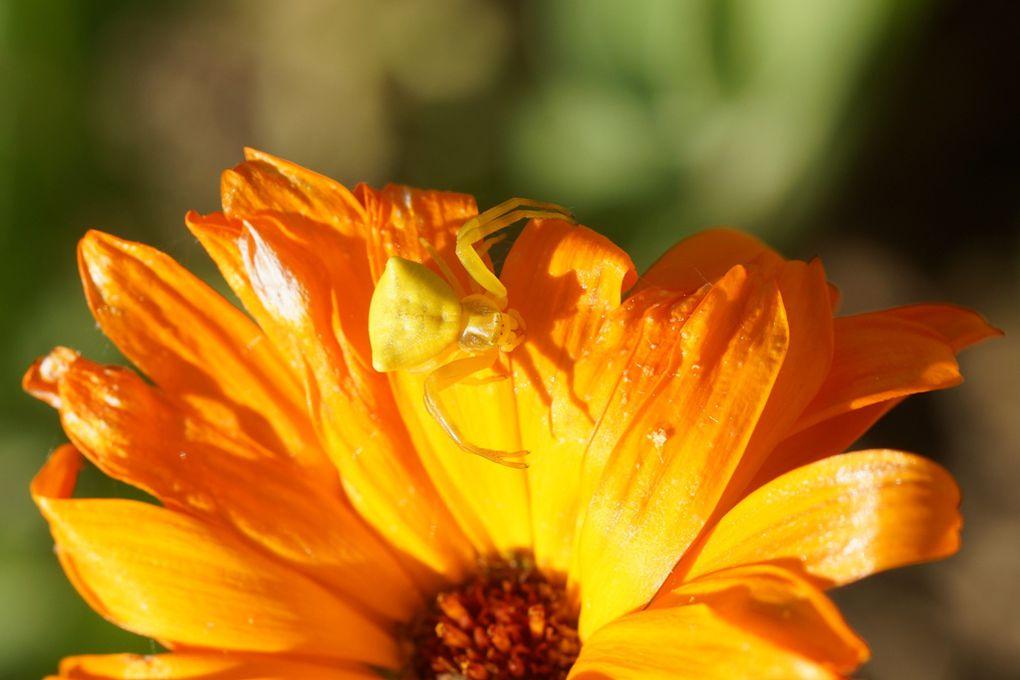 Araignée crabe jaune
