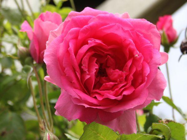 Les rosiers en P. de Pi à Pn.