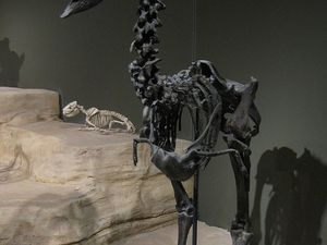 Left, skeleton of a Diatryma / Gastornis from Wyoming - photo Vince Smith - right, restoring Diatryma / prédatio over a primitive equine - doc. dinozavrikus - a click to enlarge, and a better vieuw.