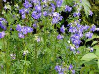 Lupinus - Crepis - Polemonium (photos empruntées à Judith)