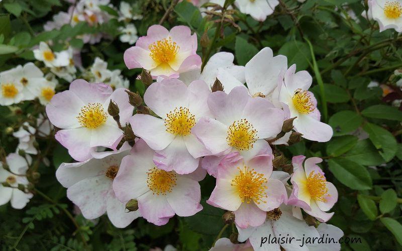 Les rosiers paysagers et arbustifs