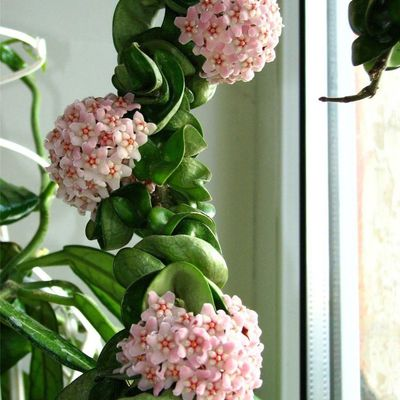 Hoya carnosa is a great houseplant.