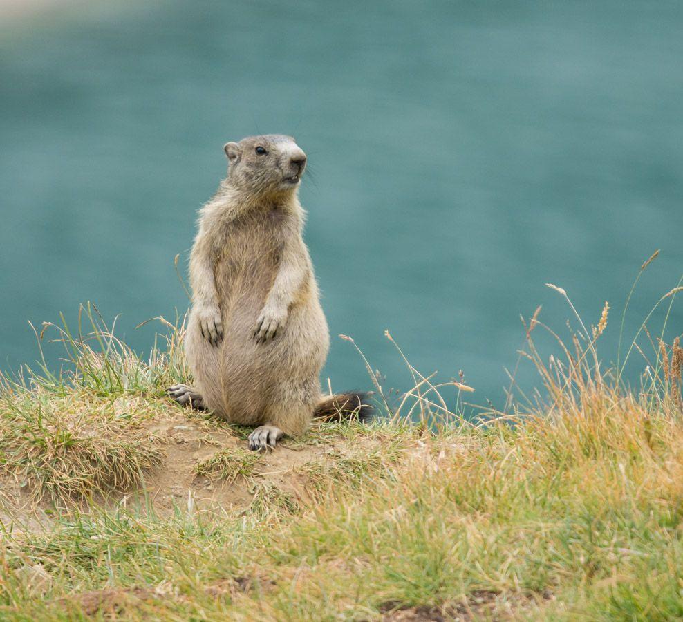 Marmottes en Maurienne - Aussois