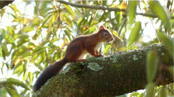 CLOE - Ce écureuil a élu domicile dans le Clos et passe de jardin en jardin. Visiteur bien vif et difficile à fixer. Photo prise par mon voisin et néanmoins ami : JPC hier lundi. Bravo JP !