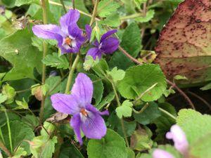 Violettes et muguets