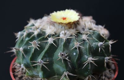 Parodia sellowii (Ex Wigginsia sessiliflora)