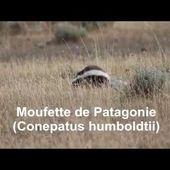 Moufette de Patagonie