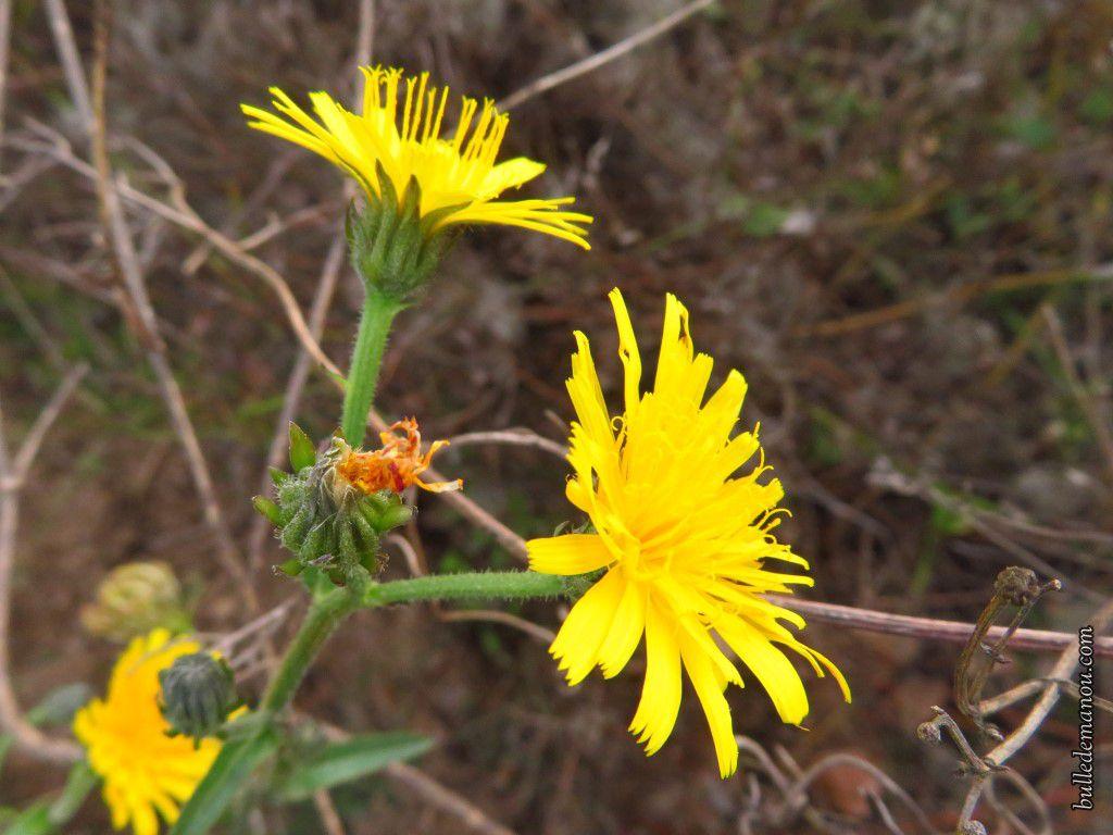 Moutarde sauvage et une inconnue poussant au bord des champs