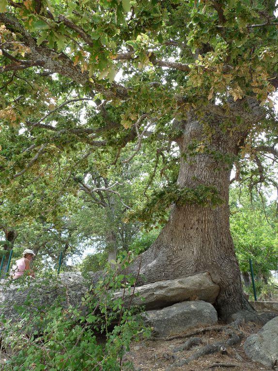 Chêne du barage de Calacuccia