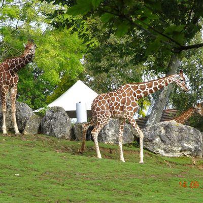 girafes, gnous, rhino du zoo de beauval 14 septembre 2014
