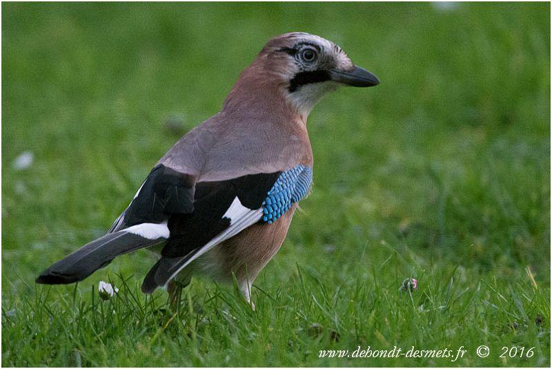 Le geai des chênes doit sa grande beauté aux tons très variés et contrastés de son plumage, mais plus particulièrement aux plumes bleu strié de noir de la bordure antérieure de ses ailes.