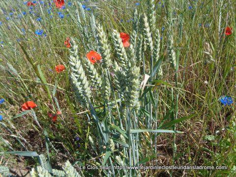 On a vu des fleurs par millier ....des coquelicots ,des bleuets ,des molènes .....