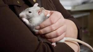 """""""Rat sauvage et rat domestiqué sont issus de la même race. Tous deux sont très sociables et ont besoin d'un groupe"""" -  """"Si vous trouvez un rat adulte blessé ou un bébé abandonné, vous pouvez tenter de le sauver"""""""