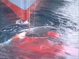 Antarctique - le Japon veut reprendre la chasse à la baleine
