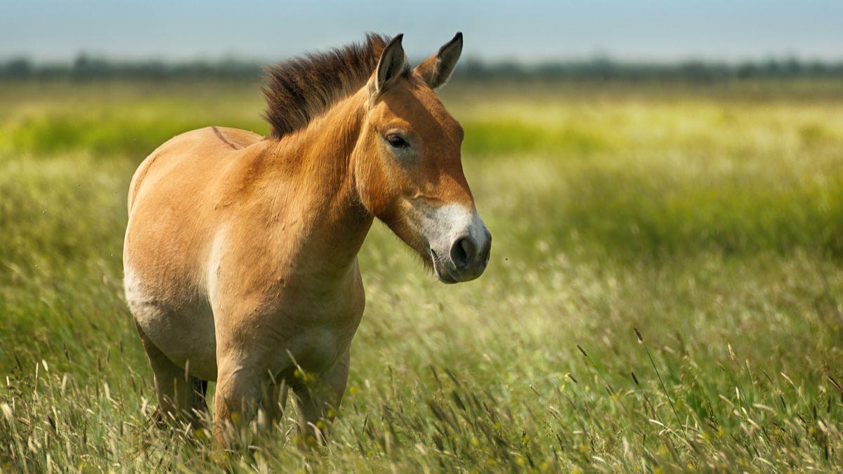 Un cheval de Przewalski, espèce en danger d'extinction, a été cloné pour la première fois