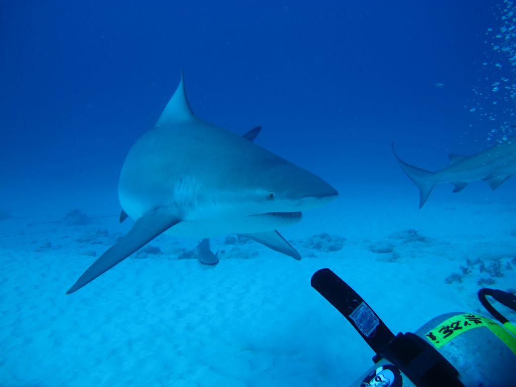 Inmersión Playa del Carmen 05-12-11. Tiburón Toro