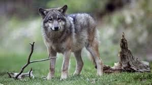 CHASSE AUX LOUPS