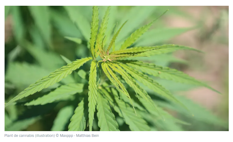 PERTUIS: 160 pieds de cannabis découverts dans le lit de la Durance