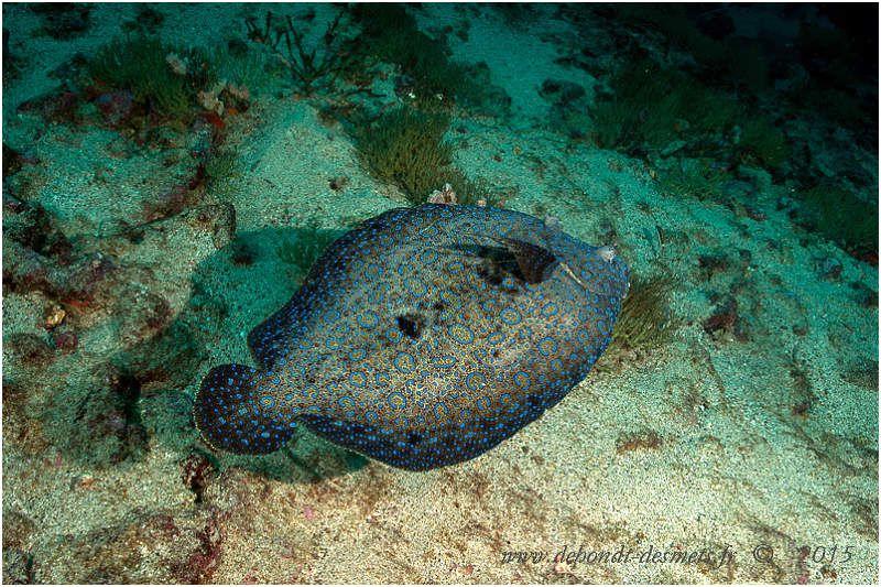 Le turbot tropical est principalement nocturne, mais peut être parfois actif de jour. Il chasse de petits poissons, des crevettes et des crabes