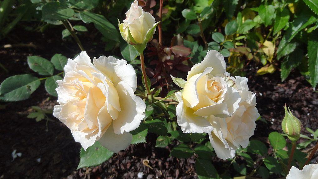 Album - roses  modernes