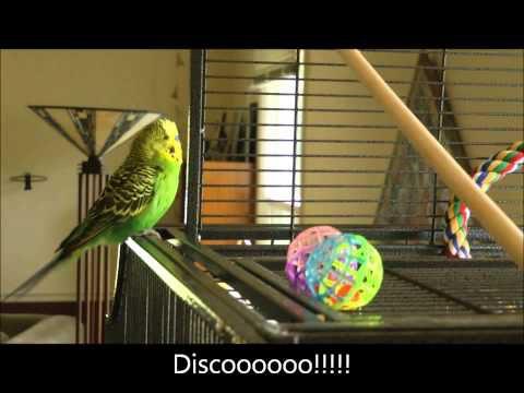Disco, la perruche beatboxeuse