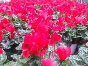 Fleurs CYCLAMEN - BEGONIA - AZALEE - KALANCHOE...