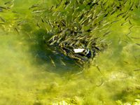 Oberstockensee et Hinterstockensee et ses poissons