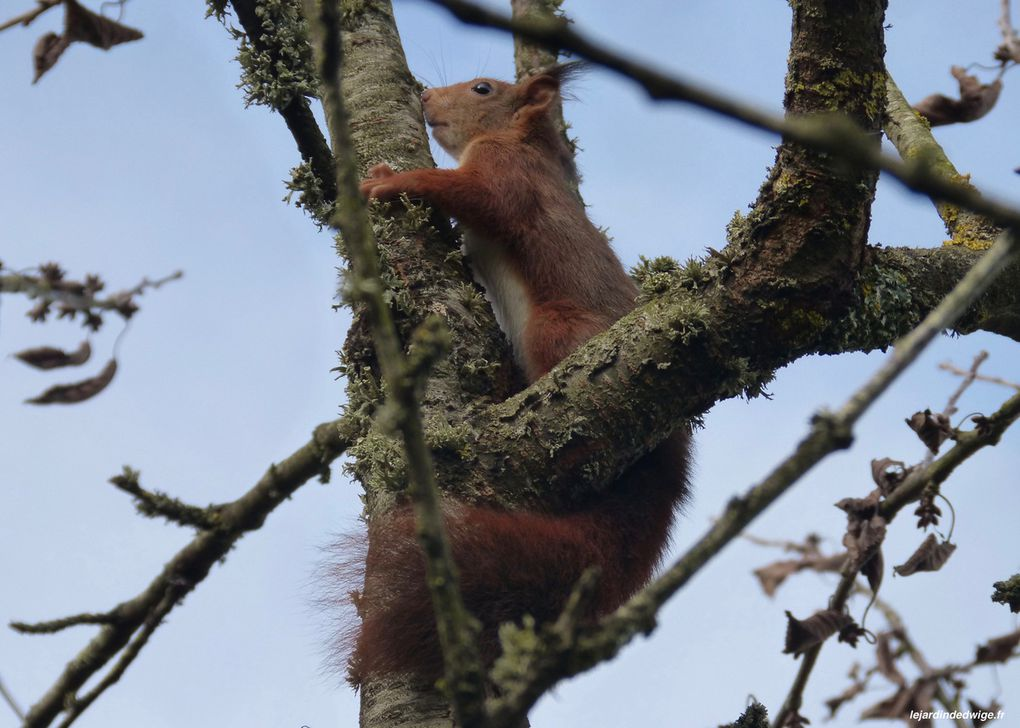 Après un bon quart d'heure, l'écureuil se décide à prendre la fuite...