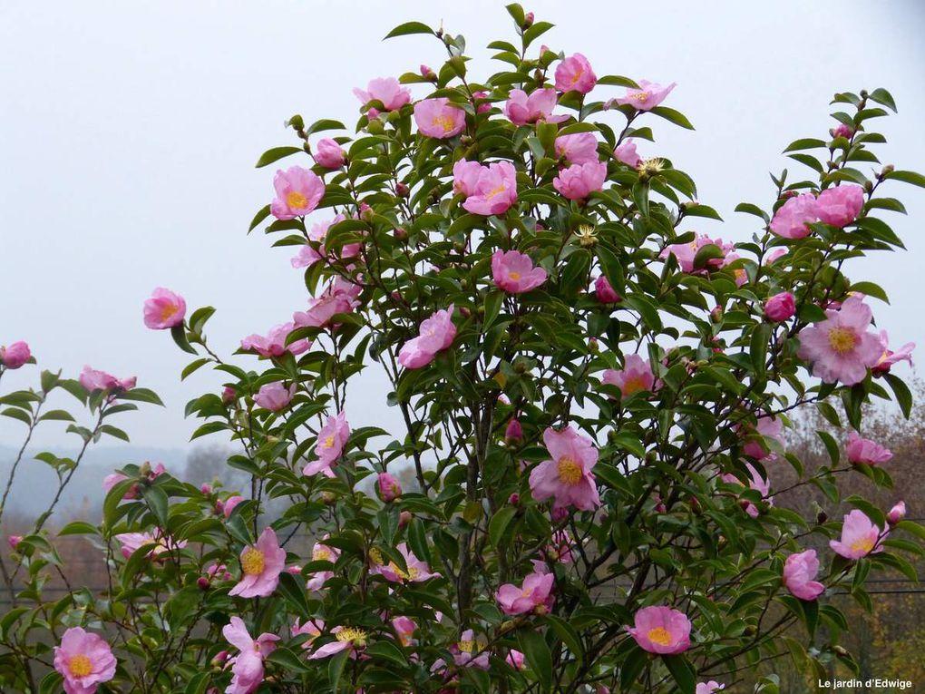 Camélia d'automne -Camelia sasanqua