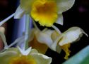 Classification des orchidées : le genre Dendrobium