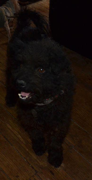 Adopté: PILOU, Croisé Caniche noir de 3 ans - taille moyenne (15 kg)